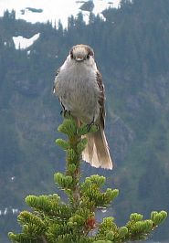 The Gray Jay = Camp Robber